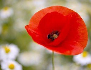 poppy-6320719_640