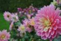 6_Dahlias du Parc Floral de la Source, Orléans-Loiret ©Parc Floral de la Source, Orléans-Loiret