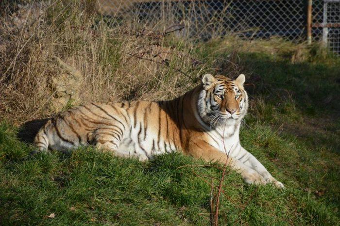 photo tigre musée du cirque et de l'illusion